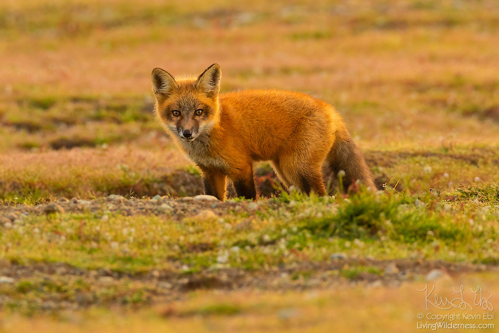A young red fox (Vulpes vulpes) looks out from a burrow in the prairie at San Juan Island National Historical Park on San Juan Island, Washington. Red foxes are not native to the island. They were introduced by settlers on various occasions in the 1900s. Moments before this image was captured, a bald eagle stole an English rabbit that was caught by this fox, lifting both the rabbit and the fox more than 20 feet into the air.