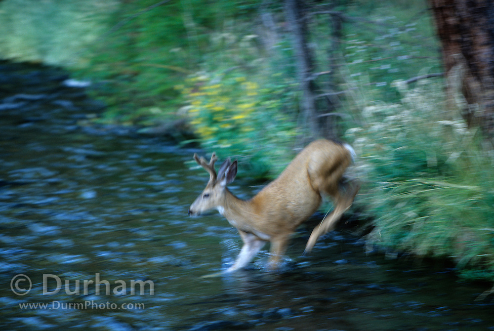 A young mule deer buck (Odocoileus hemionus) crosses the Metolius River. Deschutes National Forest, Oregon.