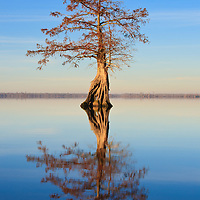 Image of the first rays of sunrise hitting a lone bald cypress (Taxodium distichum) growing in Lake Drummond, Great Dismal Swamp National Wildlife Refuge, Virginia.  Lake Drummond is one of two natural lakes in Virginia.
