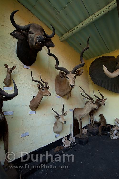 Mounted heads of african wildlife used for educational display at the Chipangali Wildlife Orphanage, Bulawayo, Zimbabwe. © Michael Durham / www.durmphoto.com