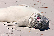 A female southern elephant seals looks curiously at the photographer