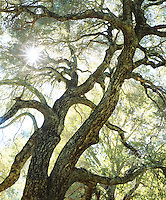 I just had to take a photo of the perfect composition of the suns rays through an inspirational oak tree in a Southern California forest.