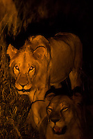 Female lion on the move at night, Kwando Concession, Linyanti Marshes, Botswana.
