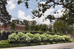 1945 MacArthur Hydrangea Hedge