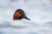 Canvasback, Aythya valisineria, Cheseapeake Bay, Maryland