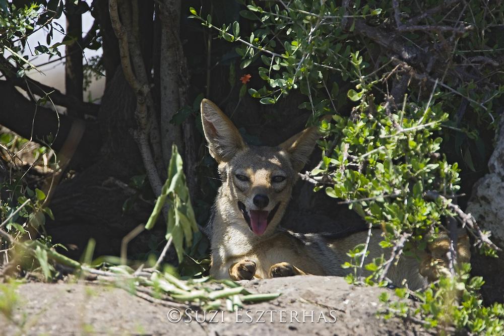 Black-backed Jackal<br /> Canis mesomelas<br /> Resting in shade of bush during midday heat<br /> Masai Mara Triangle, Kenya