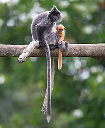 A silver Leaf monkey stands on the artificial branch with her baby at Labuk bay, on August 5, 2019 near Sandakan city, State of Sabah, North of Borneo Island, Malaysia. Palm oil plantations are cutting down primary and secondary forests vital as habitat for wildlife including the critically endangered silver monkeys. Photo by Emy/ABACAPRESS.COM