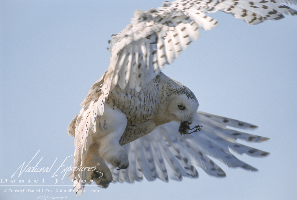 Snowy owl (Bubo scandiacus).adult in flight with a shorebird in its mouth. Barrow, Alaska.