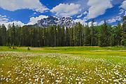 Field ofcommon or oxeye daisy (Leucanthemum vulgare or Chrysanthemum leucanthemum) flowers  and Cascade Mountain<br />Banff National Park<br />Alberta<br />Canada