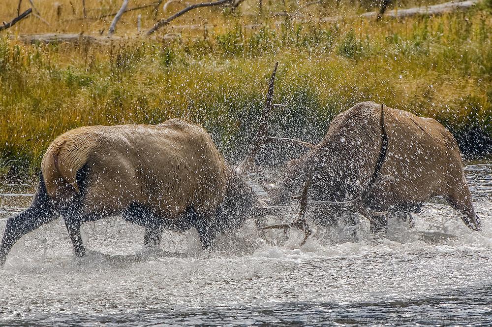 Rocky Mt. Elk [Cervus elaphus] bulls battle for harem; Madison R., Yellowstone NP., WY