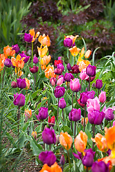 Tulips in the cutting garden. T. 'Orange Emperor', 'Negrita', Couleur Cardinal', 'Antraciet'. Check id