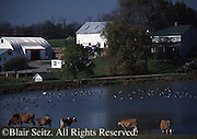 Farm and Pond, Cows and Geese, Homestead, Dauphin Co., Pennsylvania