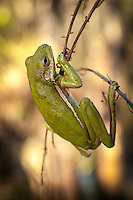 Close-up of a squirrel treefrog as it clings to the thinnest of branches of a bald cypress tree in the Southwest Florida.