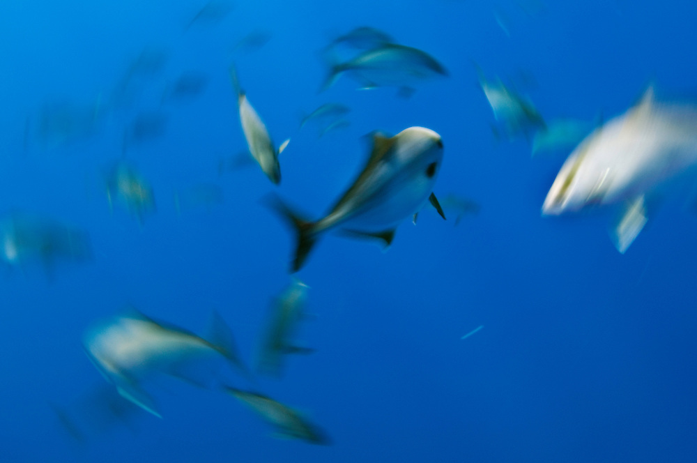 Amberjack, Seriola dumerili, in movement, Faial, Azores, Portugal