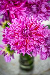 Dahlia 'Alpen Pauline' in a vase