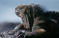 Ecuador Galapagos Islands Marine Iguana resting on rock close up