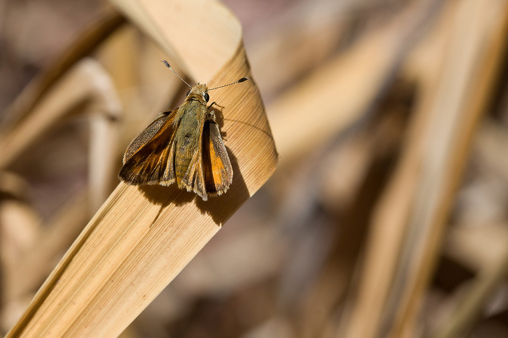 Ochlodes sylvanoides (Woodland Skipper) ♀ at Cozy Dell, Ventura Co, CA, USA, on 27-Sep-14