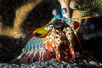 Mantis Shrimp pauses for a quick pose<br /> <br /> Shot in Indonesia