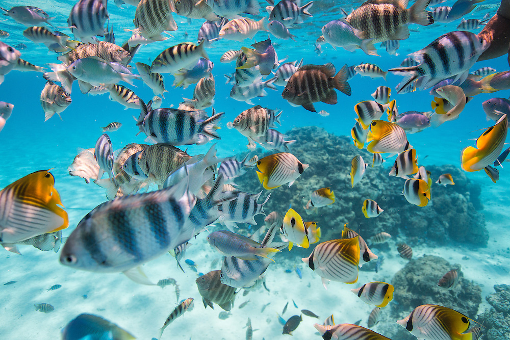 School of tropical fish along a reef in Bora Bora