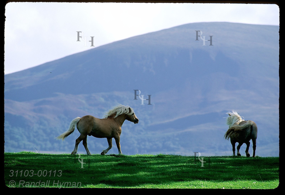 Pair of Haflinger horses cross along framed by Shehy Mountain looming behind in Killarney National Park, Ireland.