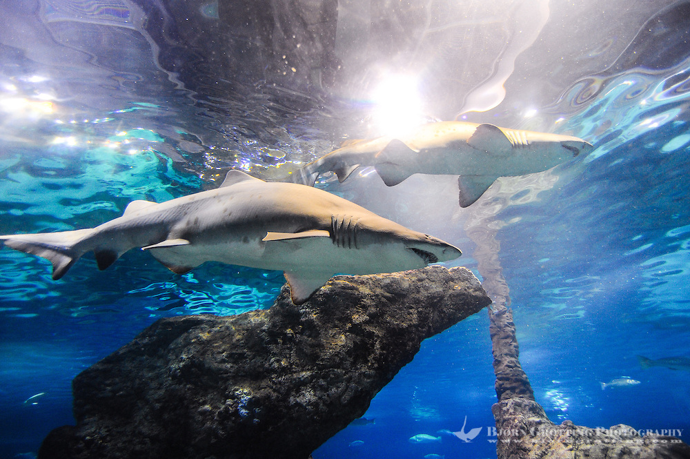 Spain, Barcelona. Aquarium Barcelona located in Port Vell. Sand tiger shark.
