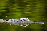 Alligator, and its reflection as a mirror image, in Turner River, Everglades, Florida, United States of America