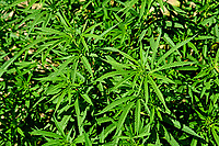 Early morning sun shines on hemp plants growing in Broadway Hemp's Harnett County field.