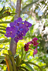 beautiful purple orchid in a Florida garden