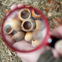 SLOUGH, ENGLAND - OCTOBER 09:  Opened  hazels nutshells seen through a magnifying lens showing the characteristic tooth marks left by dormice  at Burnham Beeches  on October 9, 2009 in Slough, England.  The People's Trust for Endangered Species (PTES) , together with Natural England, launches the third Great Nut Hunt, a public survey to help save the endangered hazel dormice (Muscardinus avellanarius)....***Agreed Fee's Apply To All Image Use***.Marco Secchi /Xianpix. tel +44 (0) 771 7298571. e-mail ms@msecchi.com .www.marcosecchi.com