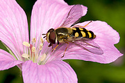 Close up of a male hover-fly (Eupeodes corollae) feeding on a pink geranium flower in a Norfolk garden in summer