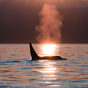 A huge male transient killer whale (Orcinus orca) makes his way up the shoreline at dawn, just off of Golden Gardens, in Seattle, Washington. Transient orcas are mammal eaters, dining primarily on seals and sea lions.