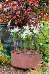 Phormium tenax 'Purpureum Group', Persicaria microcephala 'Red Dragon' and alliums in a copper pot at Glebe Cottage