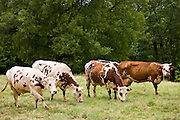 Herd of brown and white French Normandy cattle in a meadow in the Dordogne area of France
