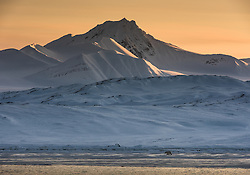 Polar bear (Ursus maritimus) in April after sunset. Svalbard, Norway