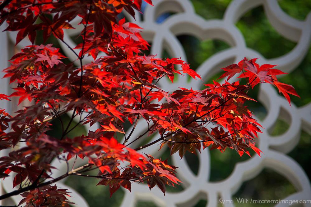 USA, California, San Marino. Chinese Maple at the Huntington Library Chinese Gardens.