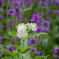 A bumblebee on white flowered Milkweed (Asclepias)