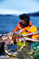 A culinary voyage onbord Hurtigruten, from Svolv&aelig;r to Kirkenes.  Reportages of suppliers en route.<br /> King Crab fishing with Viggo on his fishing boat Riddu, accoumpanied by Raimonda Viburiene from King Crab supplier Norway King Crab.<br /> Photo: Paul Paiewonsky&copy;2016<br /> Photos may only be published with prior consent by photographer.