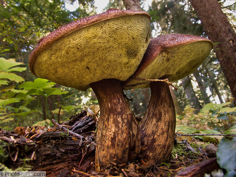 Admirable Boletus mirabilis mushroom (fungi) grows in Alpine Lakes Wilderness Area on the trail to Rachel Lake, in Wenatchee National Forest, Washington, USA.
