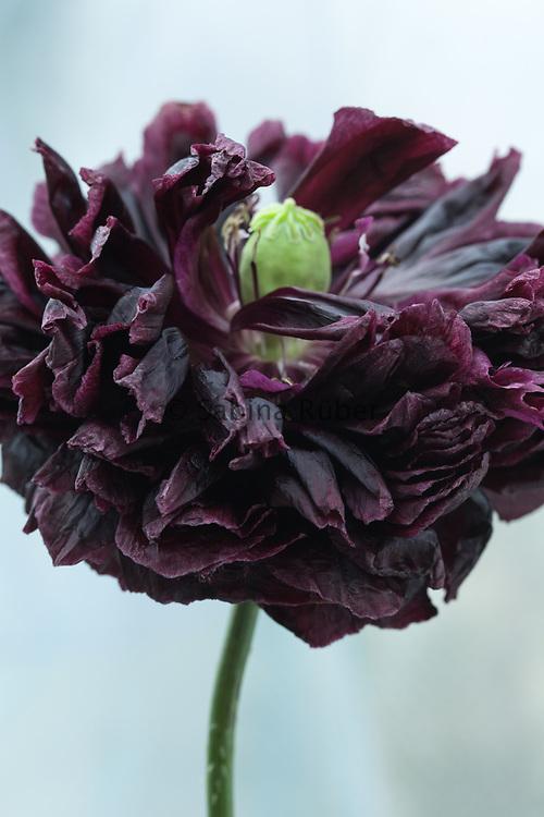 Papaver somniferum 'Black Peony' - opium poppy