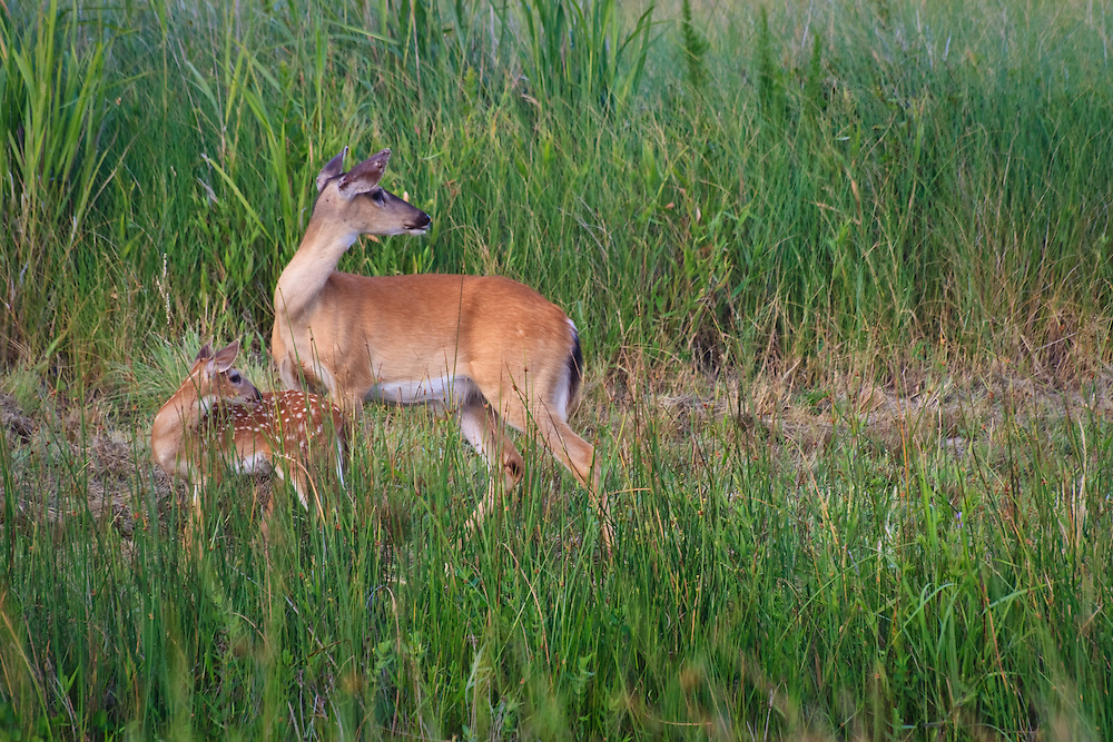 White-tailed Doe and Fawn (Odocoileus virginianus) in alert posture, Back Bay National Wildlife Refuge, Virginia Beach, VA
