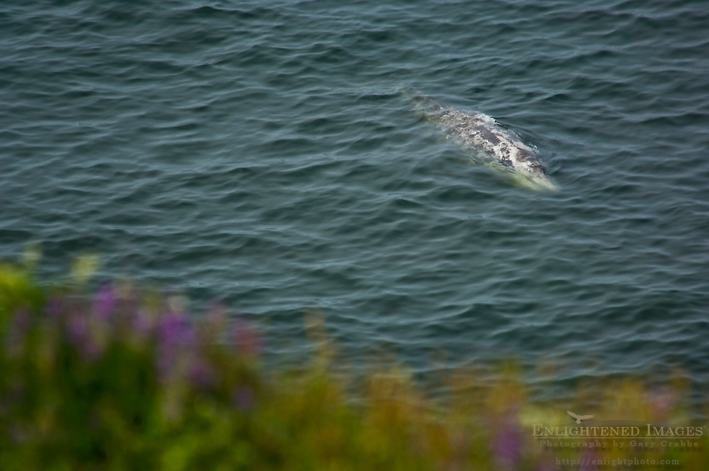 California Gray Whale on surface of ocean water near shore, Redwood National Park, California