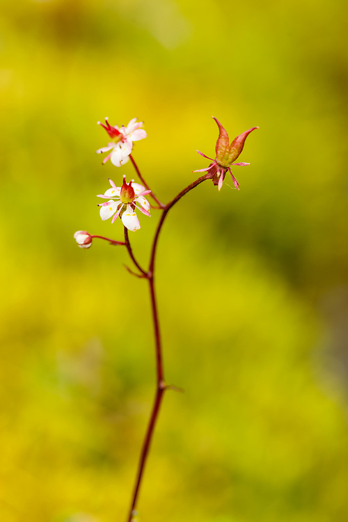 Closeup of Red-stemmed Saxifrage (Saxifraga Lyallii) Hatcher Pass in Southcentral Alaska. Summer. Afternoon.