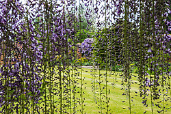 No longer open to the public, the spectacular gardens renowned for their wisteria, are the work of dedicated gardener Judith Wilson, who has tended her wisteria and encouraged its growth for over thirty years.May 13 2018.