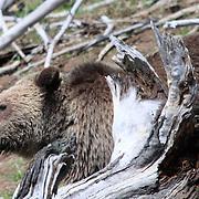 Yellowstone Grizzly Bear near Roaring Mountain.