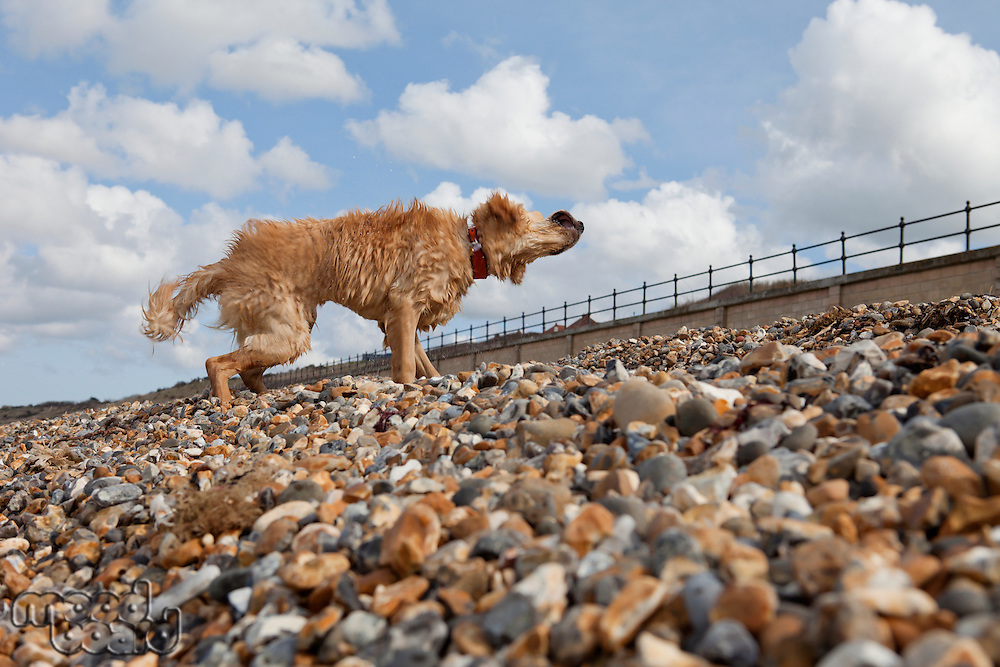 Mixed-breed Golden Retriever-Poodle cross shaking wet fur on pebble beach Herne Bay Kent