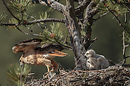 Adult red-tailed hawk leaves its nest as downy nestling watches, © 2011 David A. Ponton