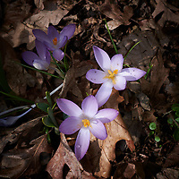 Early purple crocus blooms. Late winter nature in New Jersey. Image taken with a Leica D-Lux-5 camera (ISO 100, 8 mm, f/2.8, 1/320 sec).