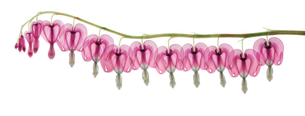 X-ray of bleeding heart flowers (Dicentra formosa). False color x-ray.