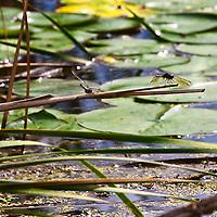 A large Blue-eyed Darner dragonfly resting on water vegetation  in a wetland (Aeshna multicolor, syn. Rhionaeschna multicolor).