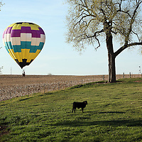 Brad Temeyer, a meteorologist and pilot, practices a touch-and-go landing in his Hot Air Balloon near Six Mile Road under the watchful eye of cattle on Wed., April 29, 2015. Temeyer launched out of McHardy Park in Brandon and landed in northeast Sioux Falls. Temeyer has been a pilot for the past nine years.